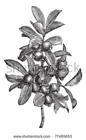 Myrtaceae Stock Vectors & Vector Clip Art.