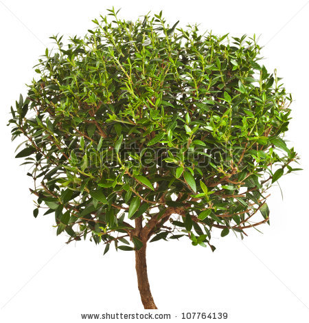 Myrtle Tree Stock Images, Royalty.