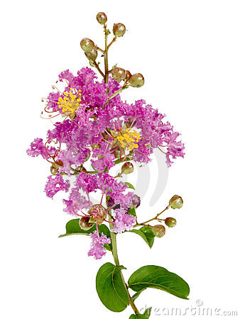 Myrtle Flowers Stock Photos, Images, & Pictures.