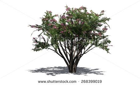 Crepe Myrtle Stock Photos, Royalty.