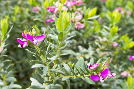 Botanical Pea Images, Stock Pictures, Royalty Free Botanical Pea.