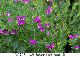 Polygala Stock Photo Images. 34 polygala royalty free images and.