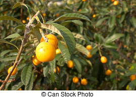 Stock Image of Nispero fruit, it is also known as Japanese plum.