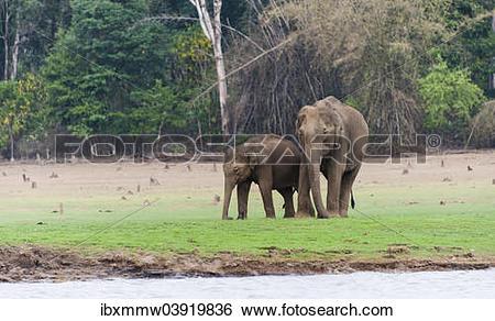 """Stock Images of """"Asian elephant or Indian elephant (Elephas."""