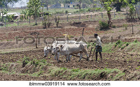 """Stock Photo of """"Indian farmer plowing field with yoke of oxen."""