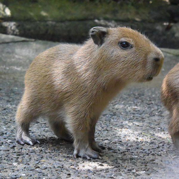 3 furry little capybaras born at Nagasaki Bio Park (Japan).