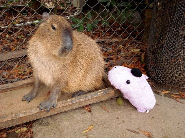 1000+ images about Capybara! on Pinterest.