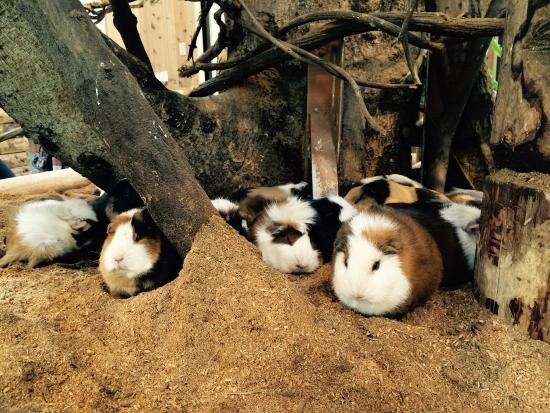 Lots of guinea pigs.