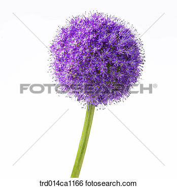 Allium Clipart.