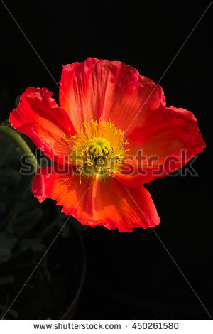 Iceland Poppy Stock Photos, Royalty.