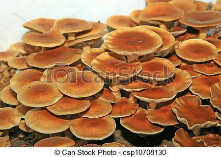 Stock Photos of pholiota nameko.