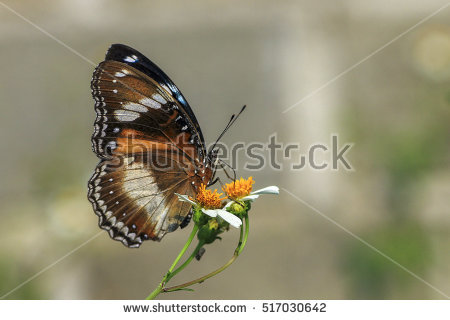 Eggfly Stock Photos, Royalty.