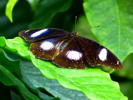 Free photo Danaid Eggfly Insect Tropical Butterfly Butterfly.