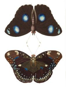 Image #2 of the bug Common Eggfly, Great Eggfly, Blue Moon.