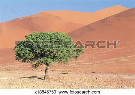 Stock Photograph of Acacia Tree in Sand Dunes, Namib Desert.