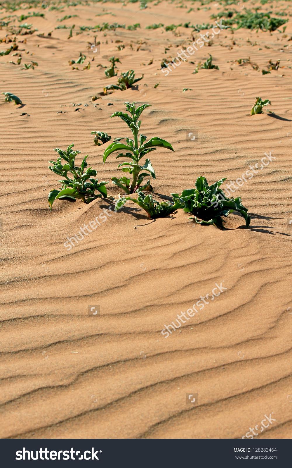 Xerophytic Plant Sandy Namib Desert South Stock Photo 128283464.