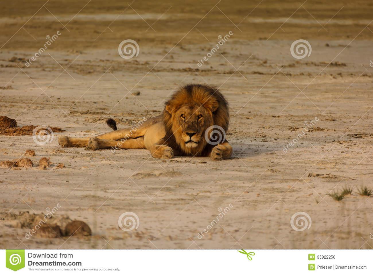 Male Lion Lays On Sandy Desert Floor In Namibian Desert Looking At.