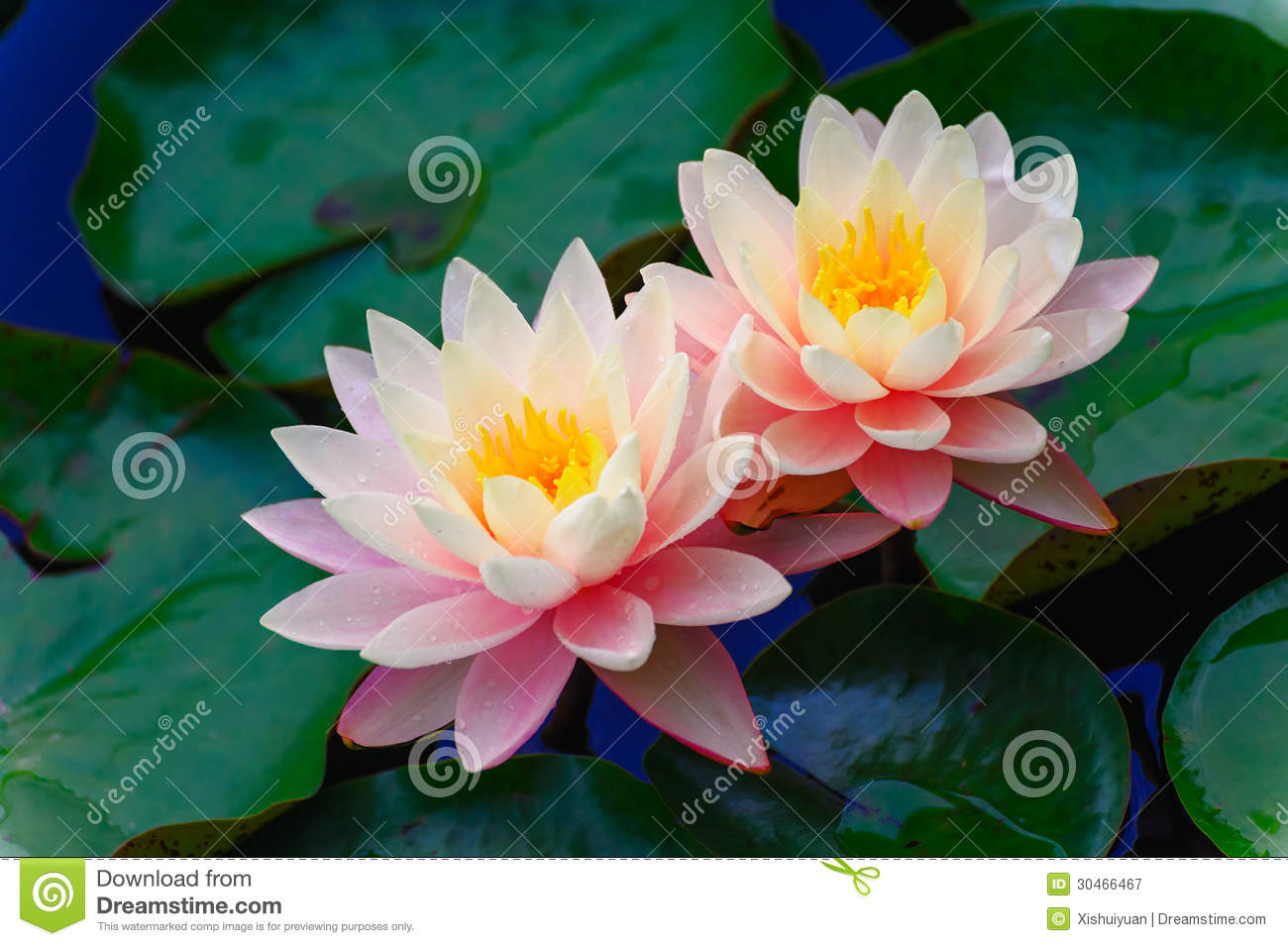 The Two Lotus Royalty Free Stock Photography.