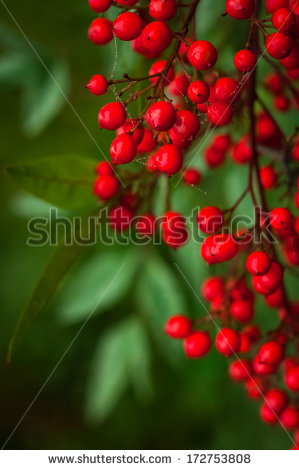 Nandina Stock Photos, Royalty.