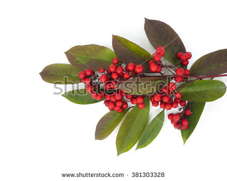 Nandina Domestica Stock Photos, Royalty.
