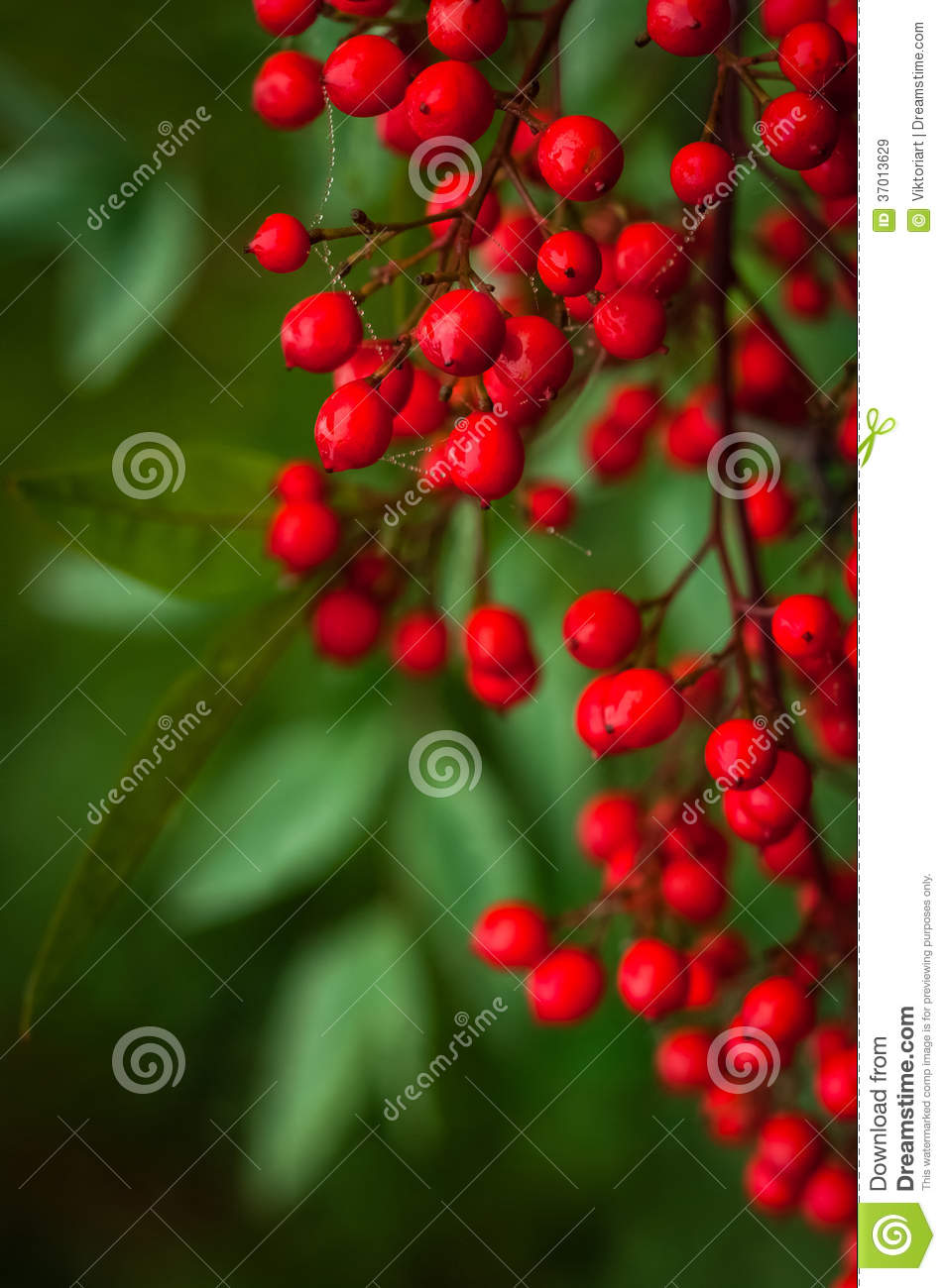 Nandina Domestica. Red Berries Of Japanese Sacred Bamboo Royalty.