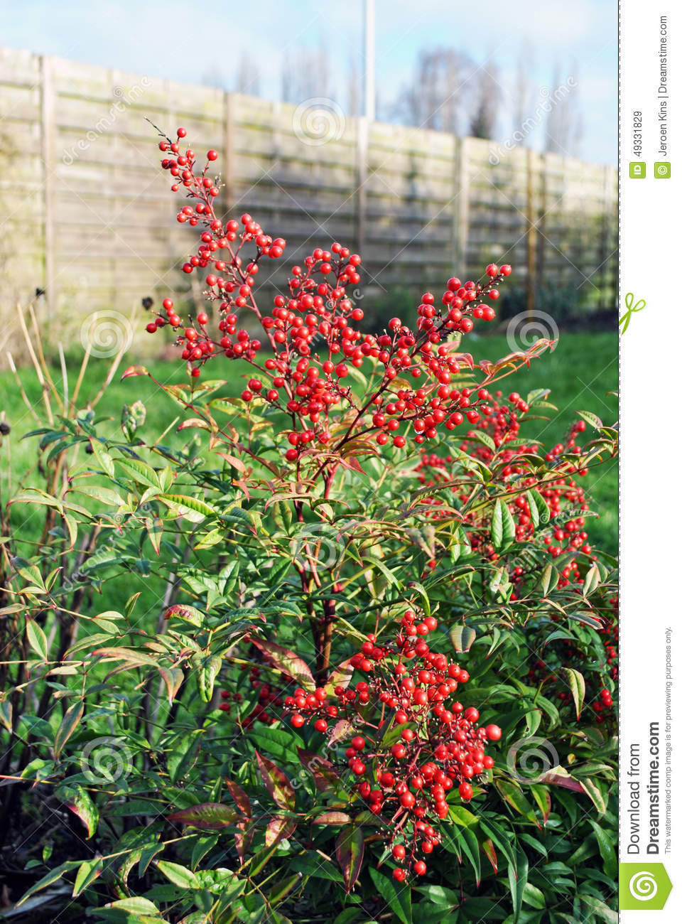 Nandina Domestica With Berries Stock Photo.