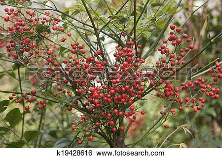 Stock Images of Nandina domestica k19428616.