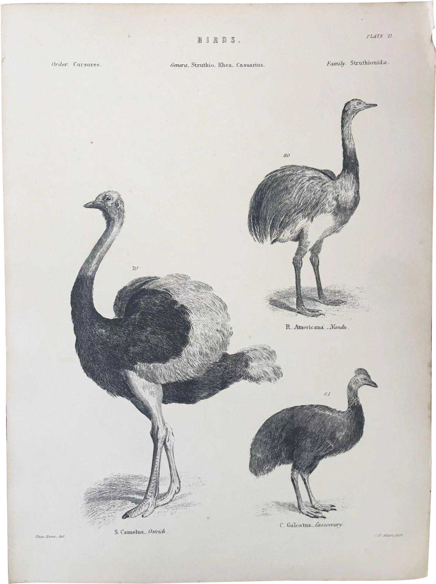 Ostrich Clipart Nandu.
