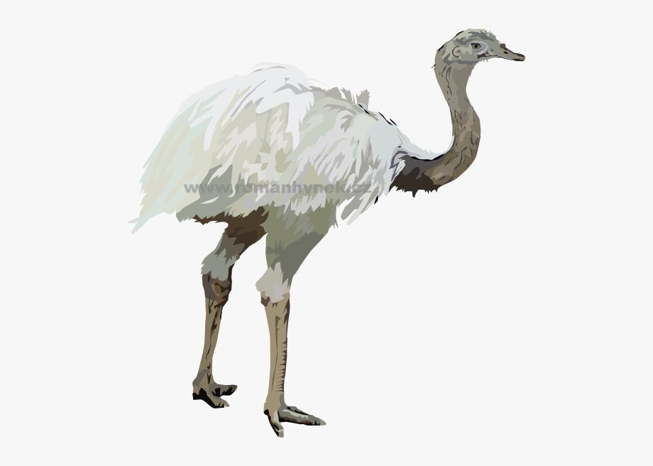 Ostrich Drawing Nandu.