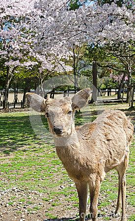 Deer And Sakura At Nara Park Stock Photo.