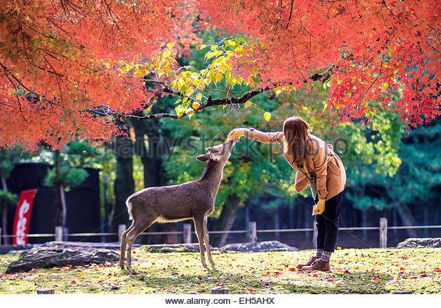 Nara Japan Sacred Deer Stock Photos & Nara Japan Sacred Deer Stock.