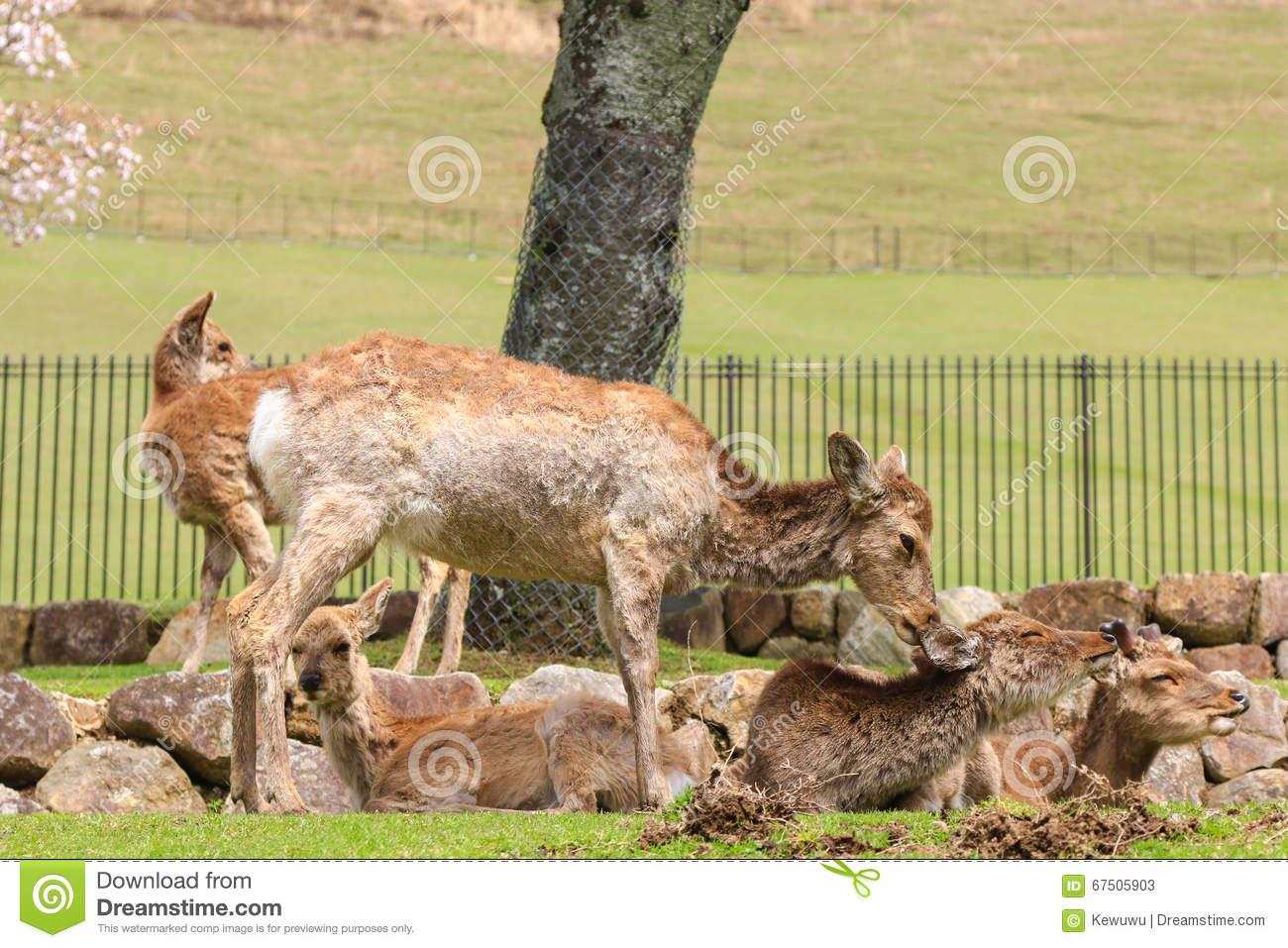 Deer Enjoying At Nara Park In Freedom During Spring In Japan Stock.
