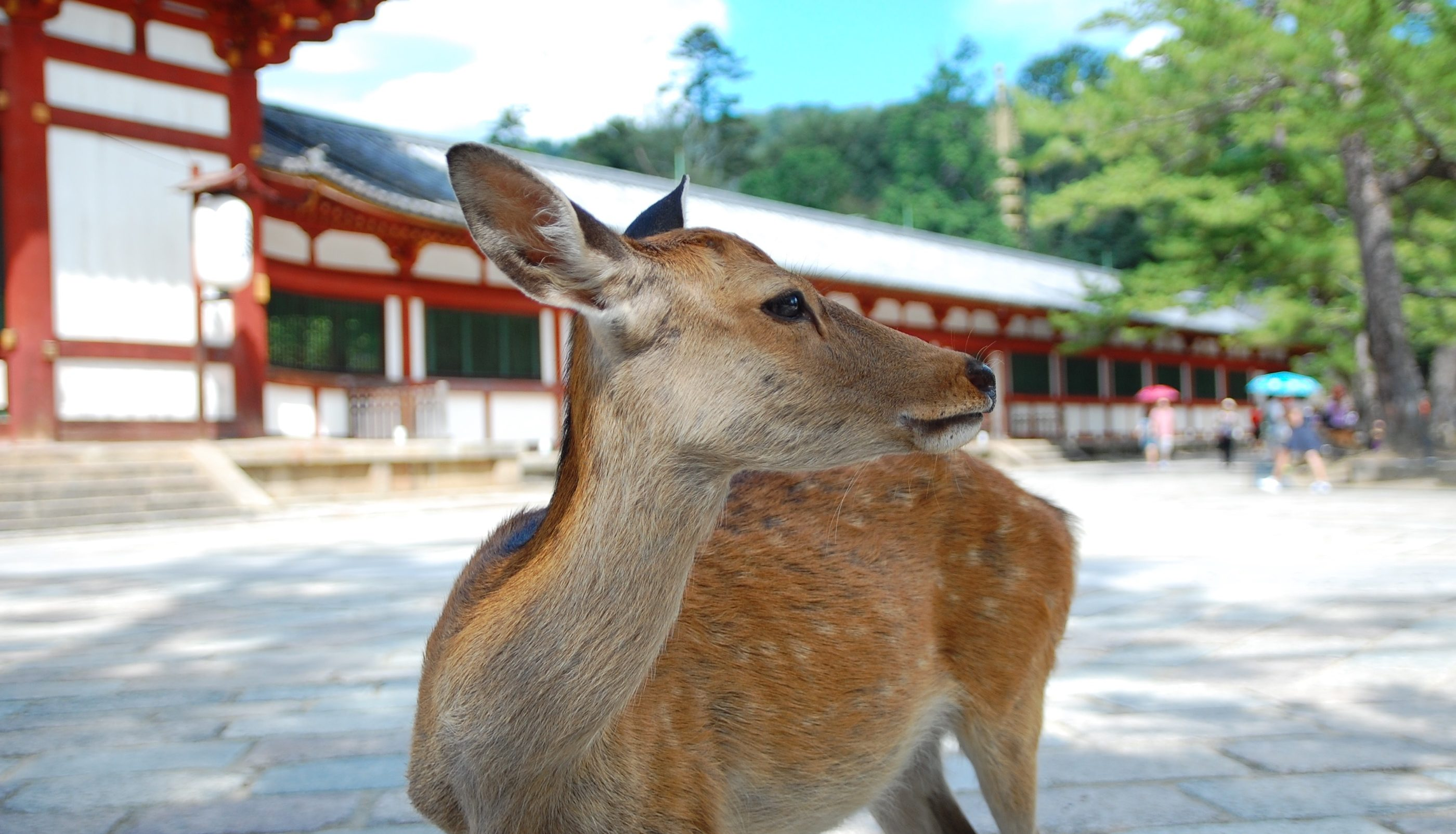 Divine messengers : The deer of Nara park.