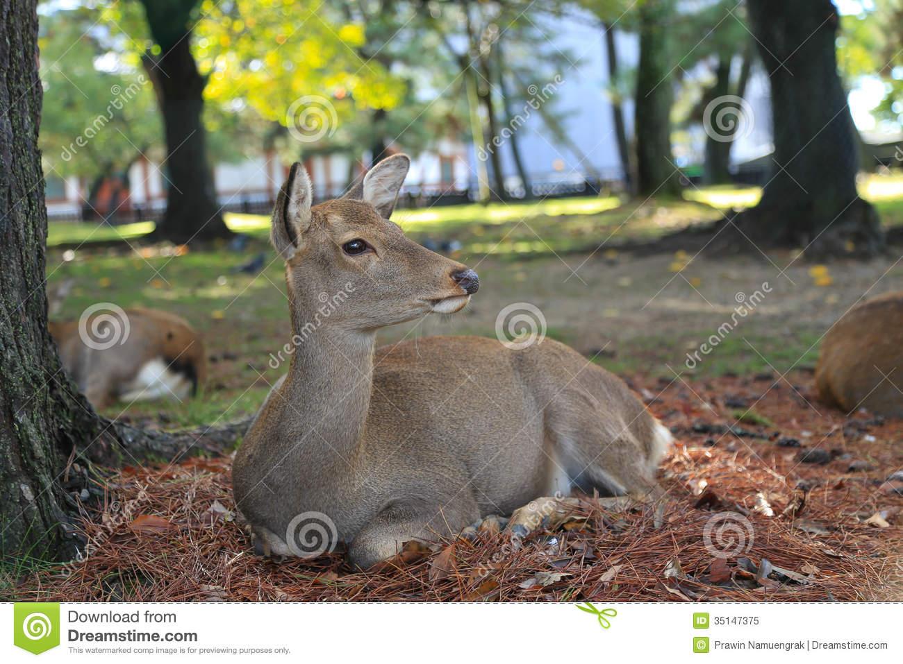 Deer In Nara Park Japan Royalty Free Stock Photo.