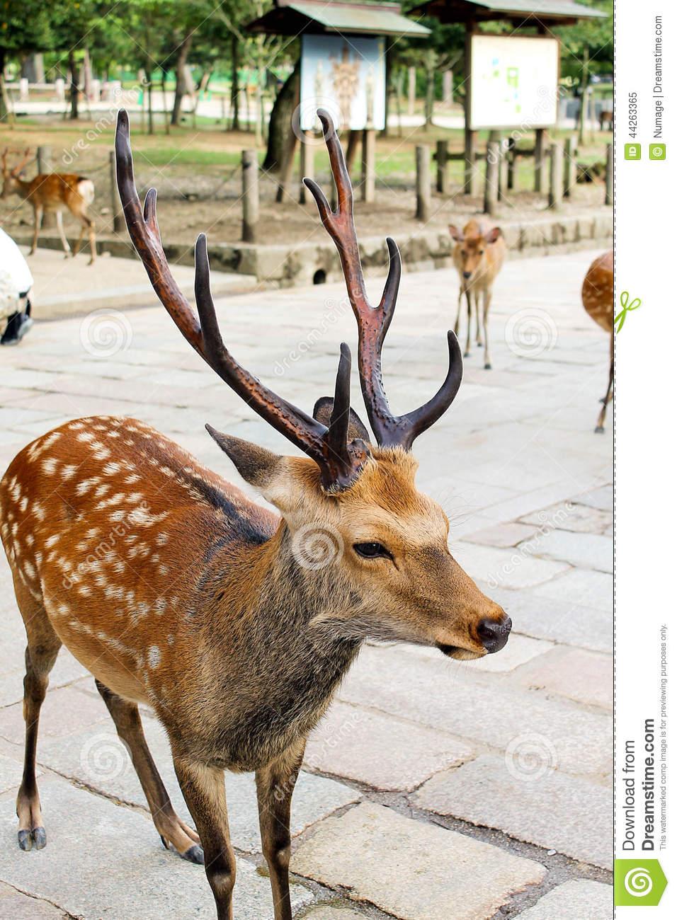 Male Deer In Todaiji Temple, Nara Stock Photo.