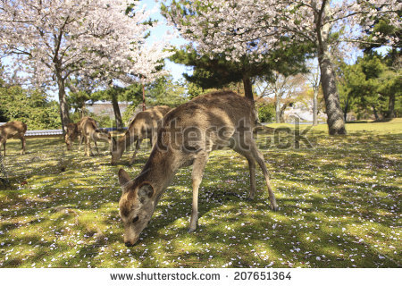 Nara Park Stock Images, Royalty.