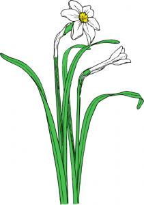 Narcissus Clip Art Download.