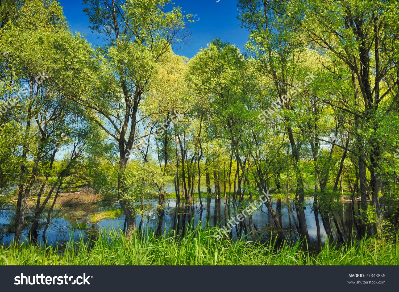 Wallpaper Trees Swamp Near Narew River Stock Photo 77343856.