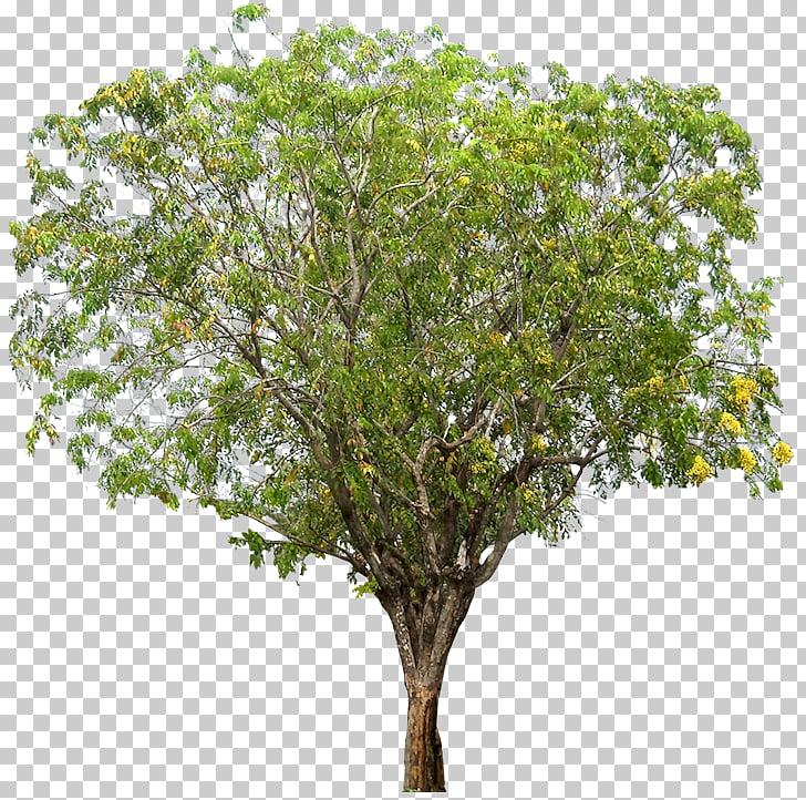 Narra Tree Dalbergieae Woody plant, tamarind PNG clipart.