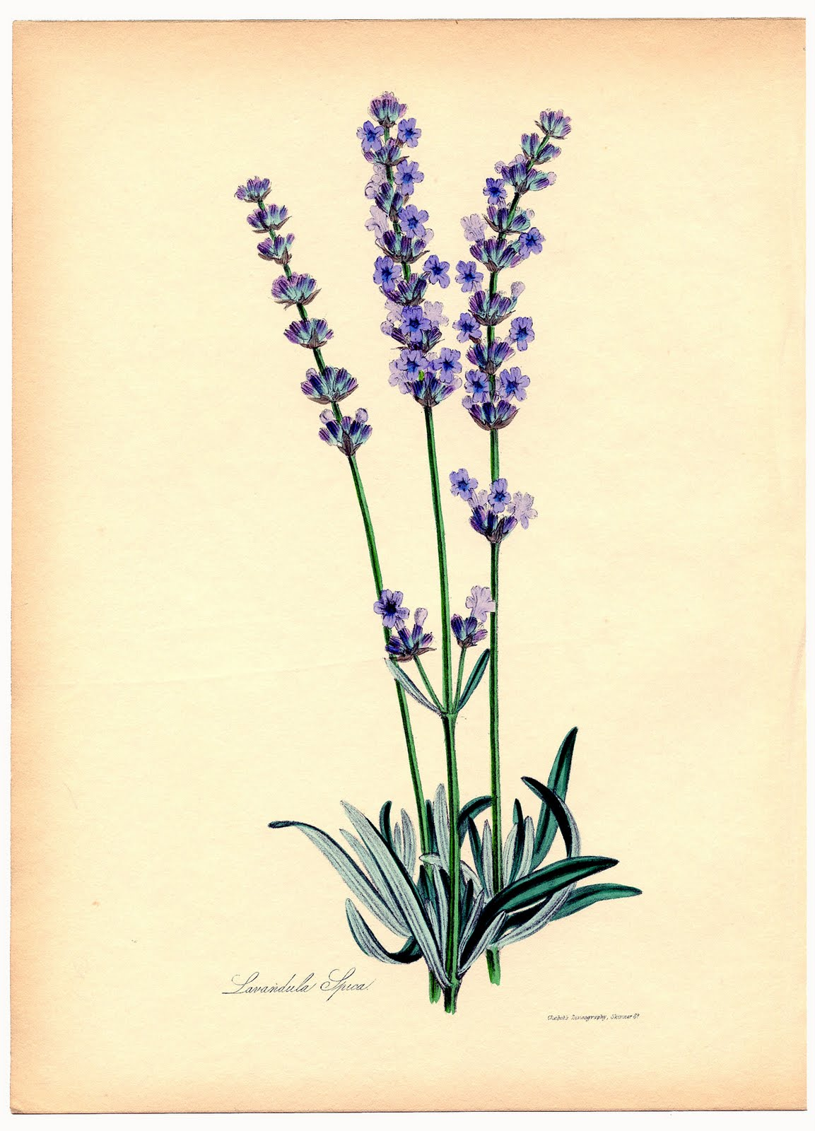 1000+ images about Lavender draw, paint on Pinterest.