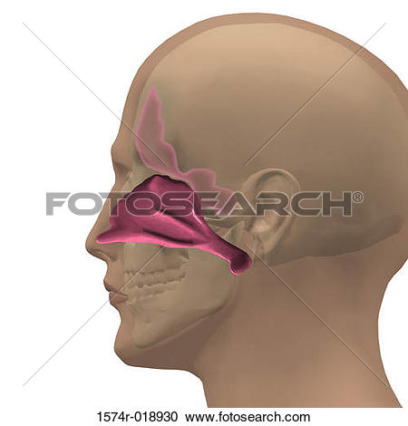 Stock Illustration of Human Nasal Cavity 1574r.