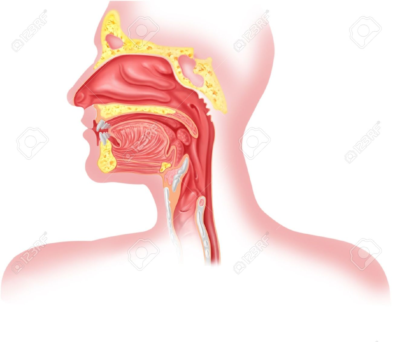Human Respiratory System Cross Section, Head Part. Stock Photo.