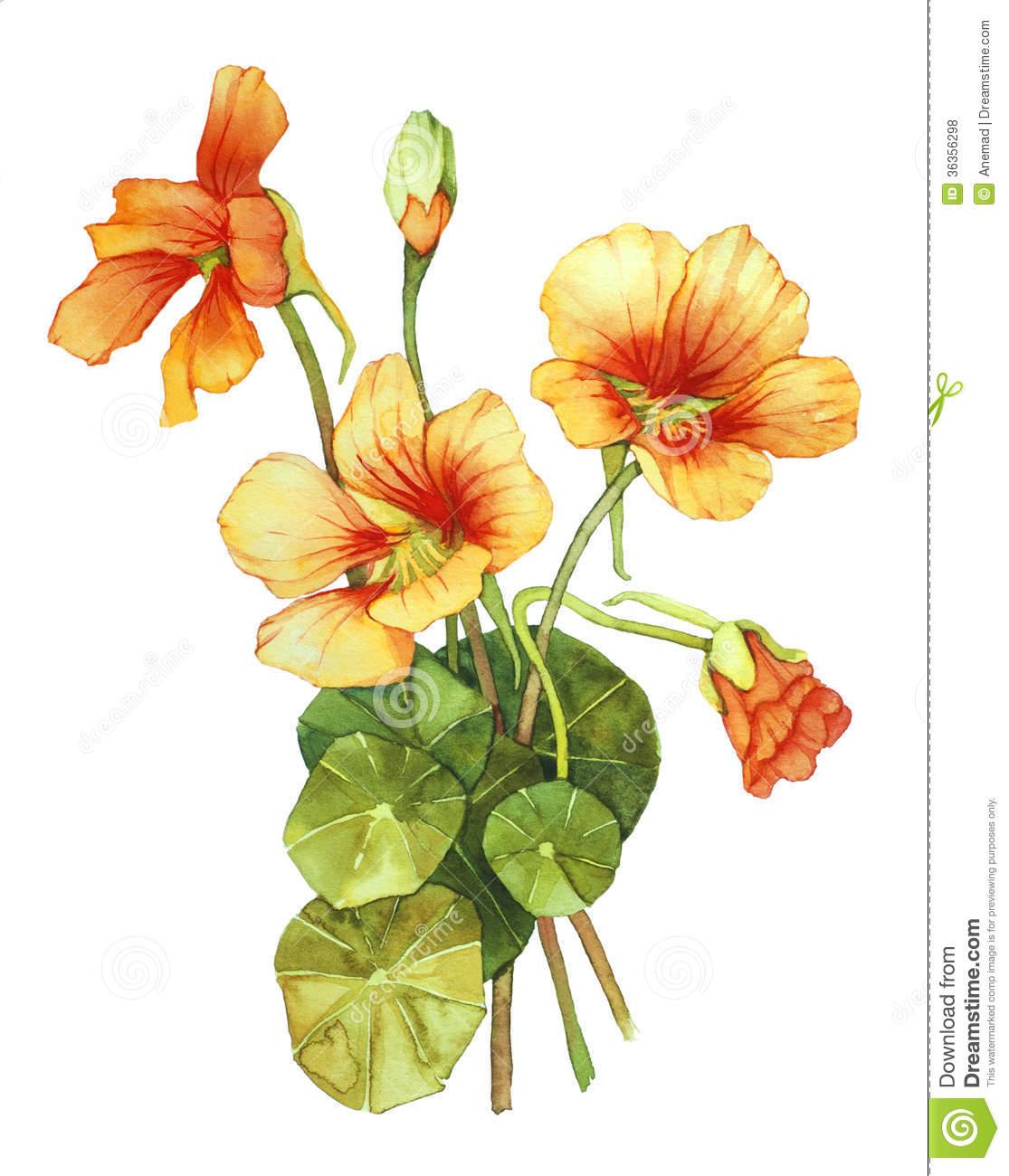 Watercolor With Nasturtium Royalty Free Stock Photos.