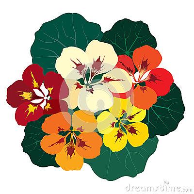 Nasturtium Flowers Stock Illustrations.