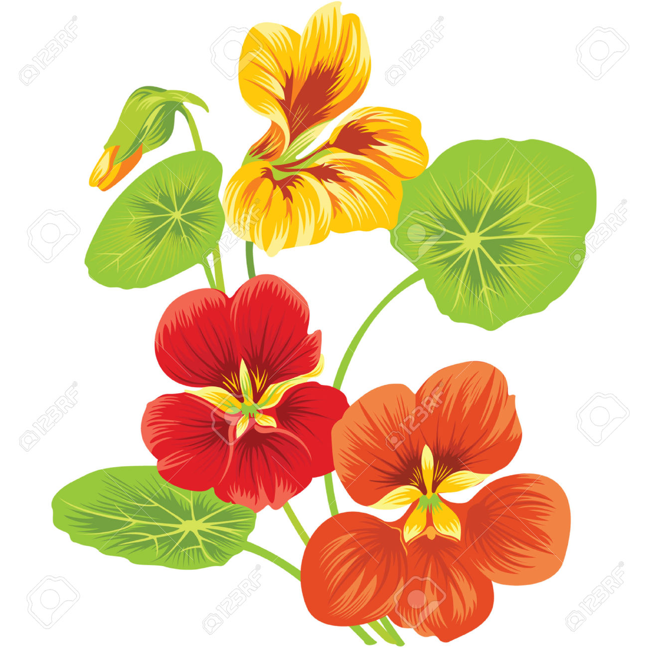 Three Flowers Of Nasturtium Royalty Free Cliparts, Vectors, And.