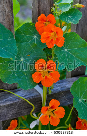 Nasturtium Plant Stock Photos, Royalty.