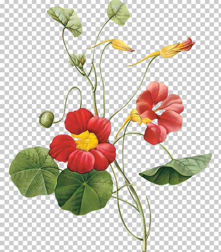 Garden Nasturtium Flower Botany PNG, Clipart, Annual Plant.