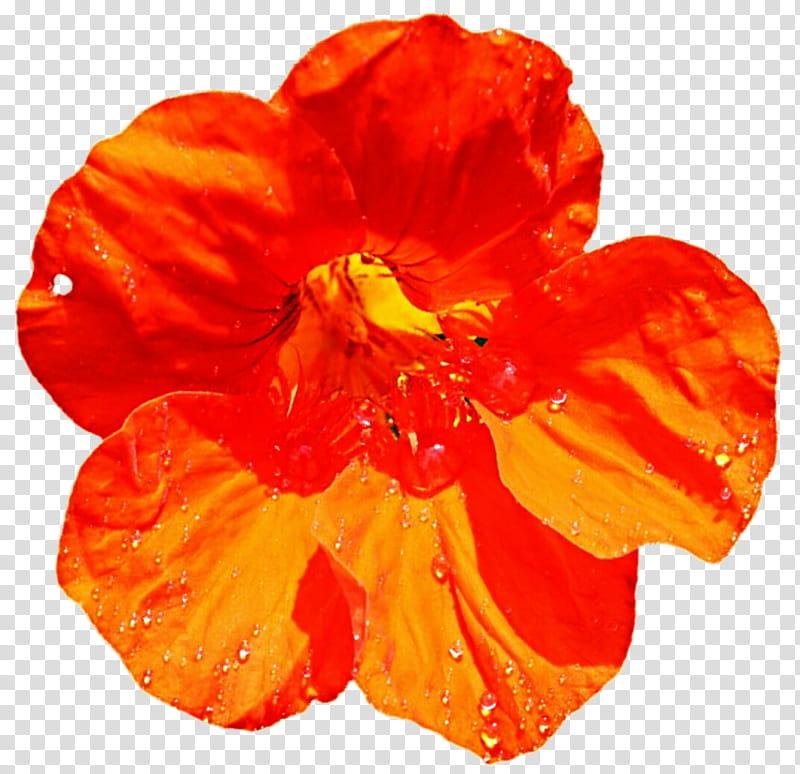 Bright Orange Nasturtium transparent background PNG clipart.