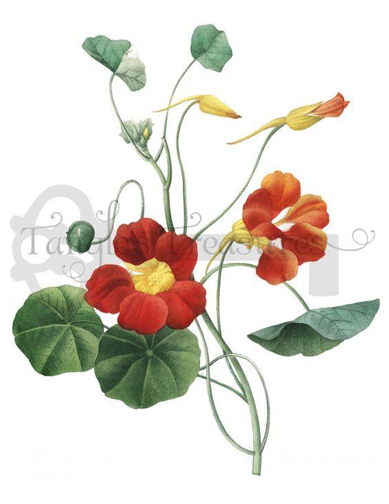 Red Nasturtium Flower Clipart: High Resolution Printable Artwork.