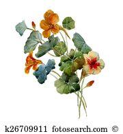 Nasturtium Clip Art Illustrations. 51 nasturtium clipart EPS.